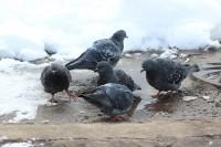 Сизый голубь, Л. Гаранина
