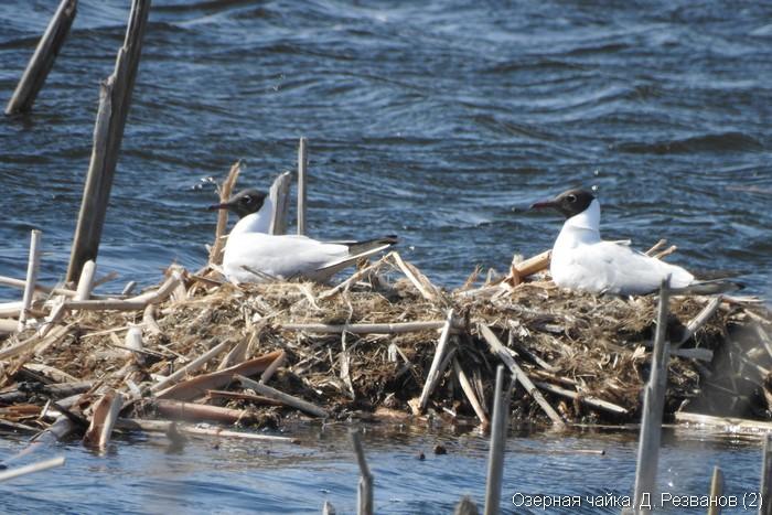 Озерная чайка, Д. Резванов (2)