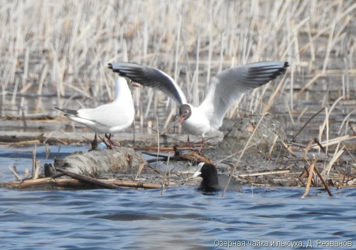 Озерная чайка и лысуха, Д. Резванов
