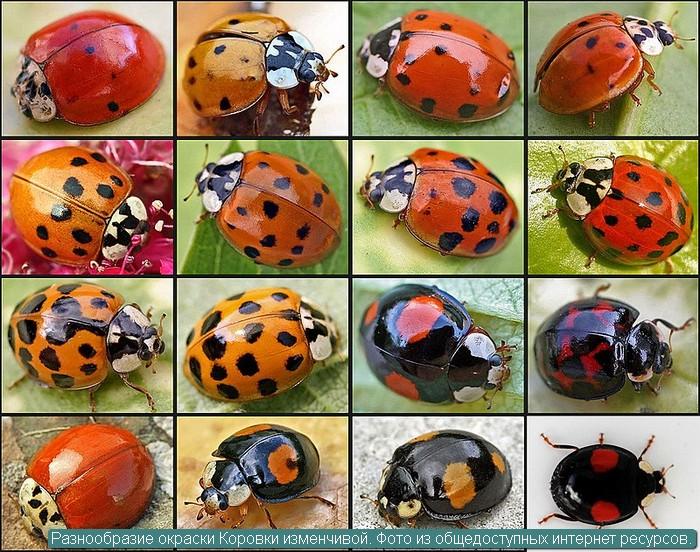 Разнообразие окраски Коровки изменчивой. Фото из общедоступных интернет ресурсов.