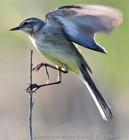 Желтая трясогузка (самка), В. Ладанов (1)