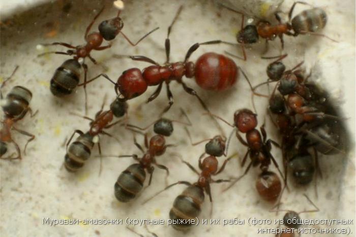 Муравьи-амазонки (крупные рыжие) и их рабы (фото из общедоступных интернет-источников).