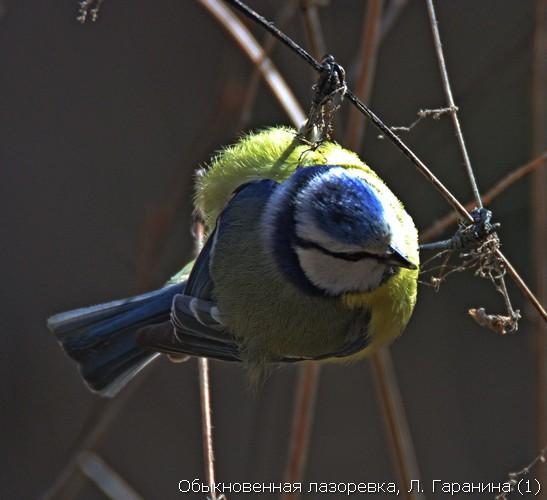Обыкновенная лазоревка, Л. Гаранина (1)
