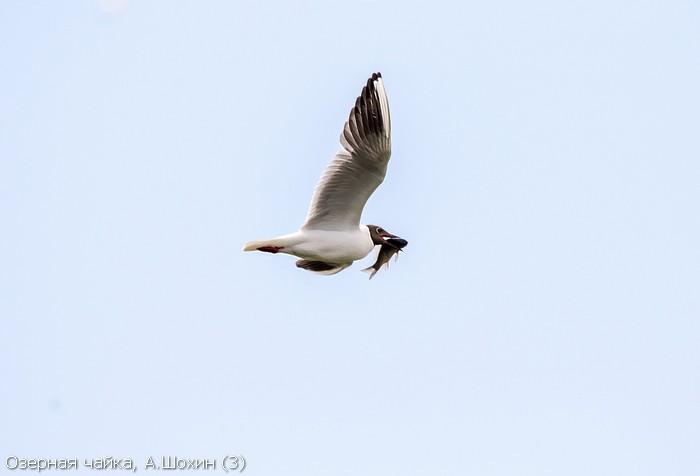 Озерная чайка, А.Шохин (3)