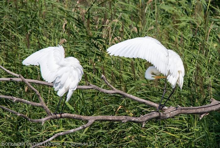 Большая белая цапля, А. Шохин (1)