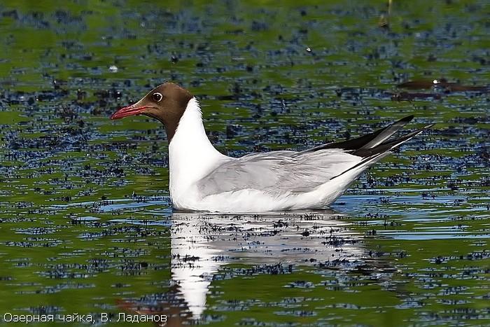 Озерная чайка, В. Ладанов