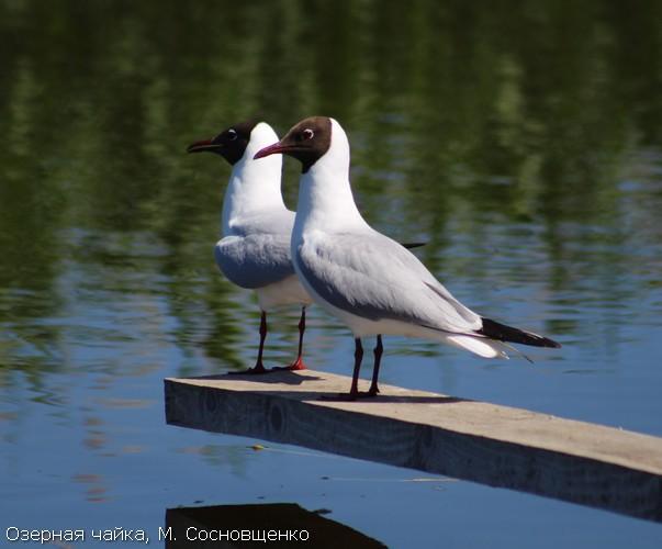 Озерная чайка, М. Сосновщенко