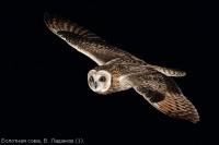 Болотная сова, В. Ладанов (1)
