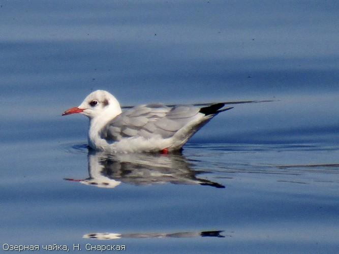Озерная чайка, Н. Снарская