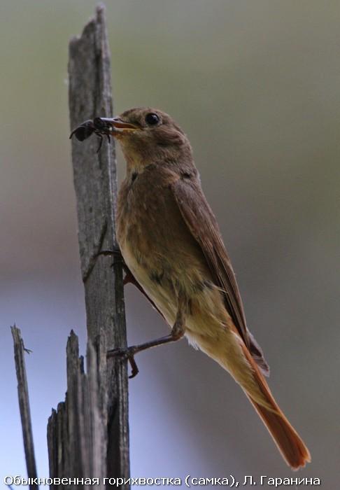 Обыкновенная горихвостка (самка), Л. Гаранина