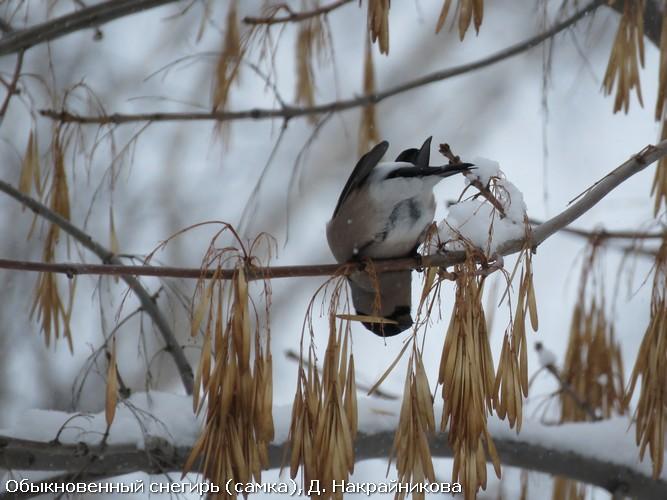 Обыкновенный снегирь (самка), Д. Накрайникова