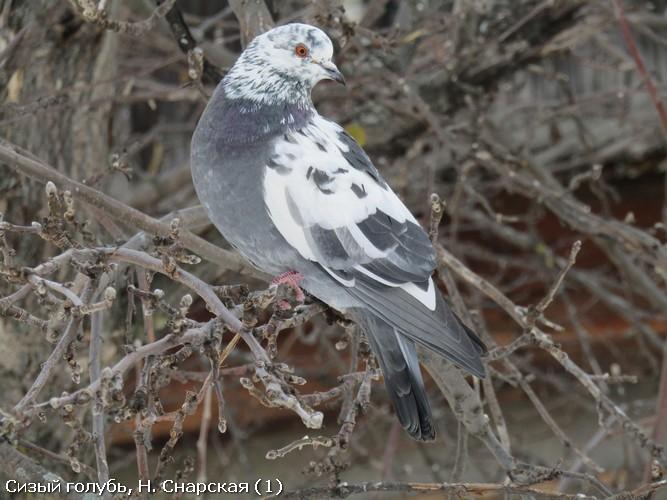 Сизый голубь, Н. Снарская (1)