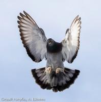Сизый голубь, А. Шохин