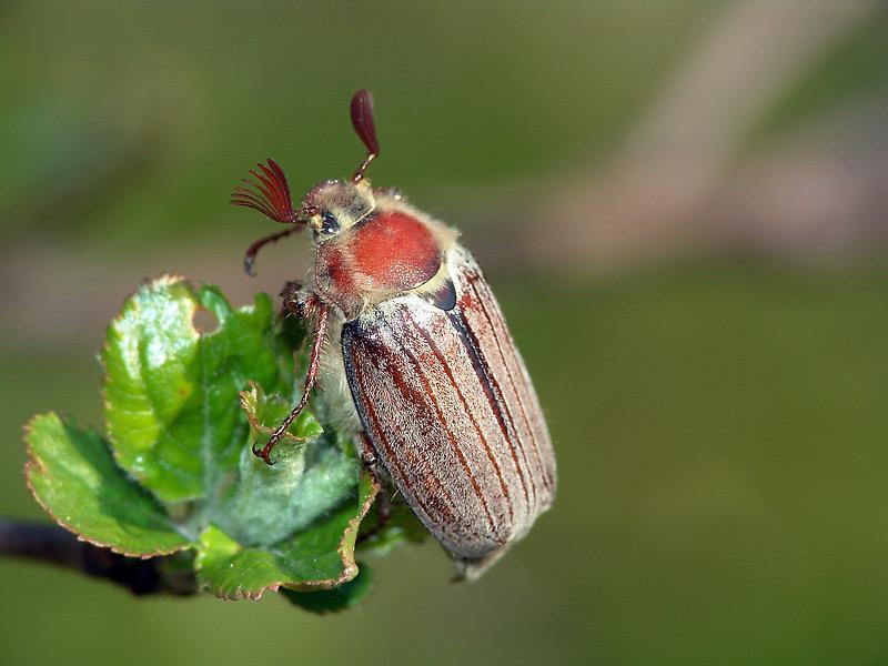 самец майского жука (фото из общедоступных интернет-источников)