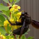 Знакомьтесь, пчела – плотник!