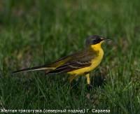 Желтая трясогузка (северный подвид) Г. Сараева