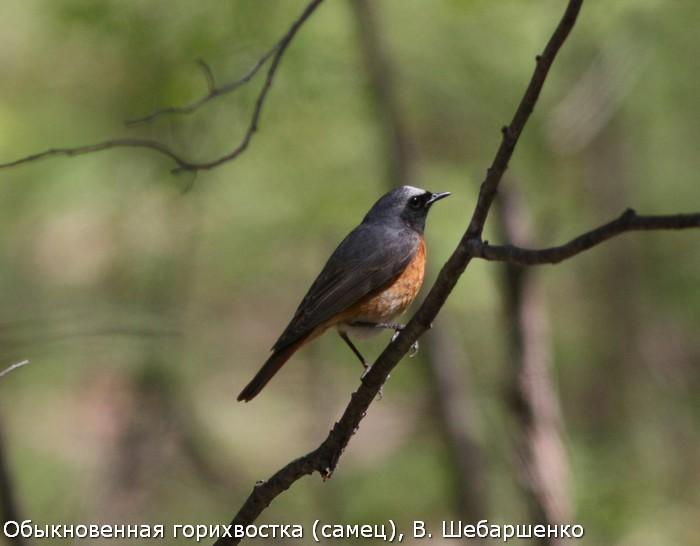 Обыкновенная горихвостка (самец), В. Шебаршенко