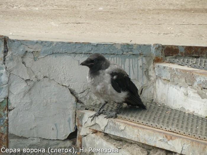 Серая ворона (слеток), Н. Ремезова