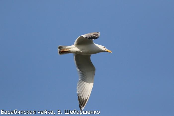 Барабинская чайка, В. Шебаршенко