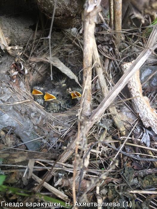 Гнездо варакушки, Н. Ахметвалиева (1)