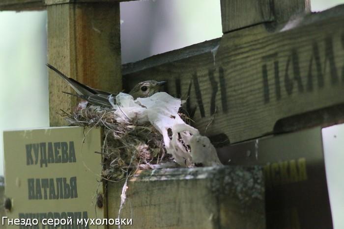Гнездо серой мухоловки