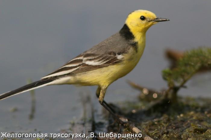 Желтоголовая трясогузка, В. Шебаршенко