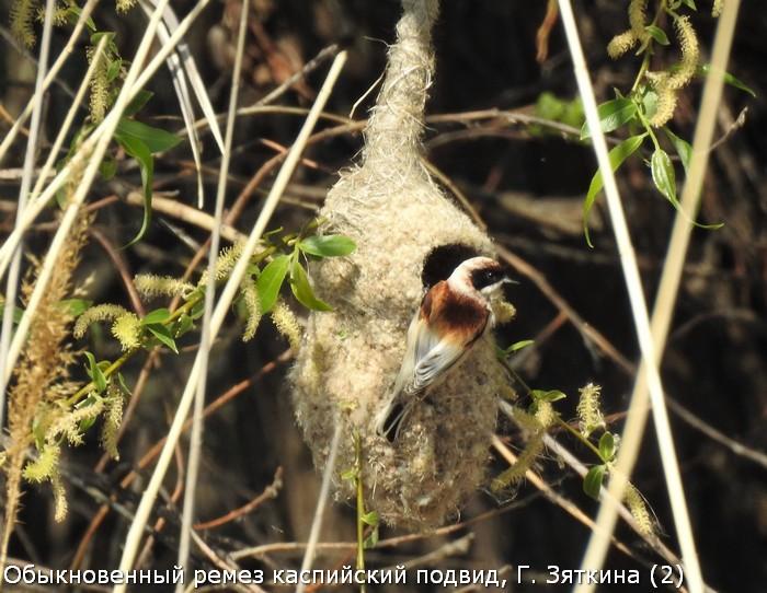 Обыкновенный ремез каспийский подвид, Г. Зяткина (2)