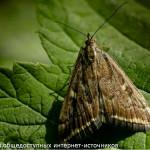Луговой мотылёк или «метелица»
