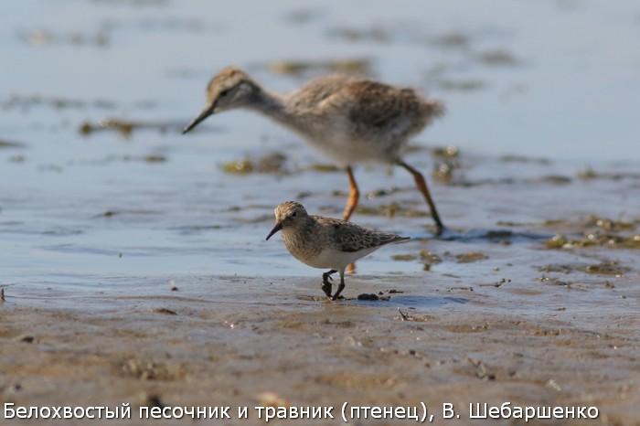 Белохвостый песочник и травник (птенец), В. Шебаршенко