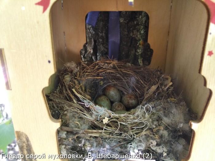 Гнездо серой мухоловки, В. Шебаршенко (2)