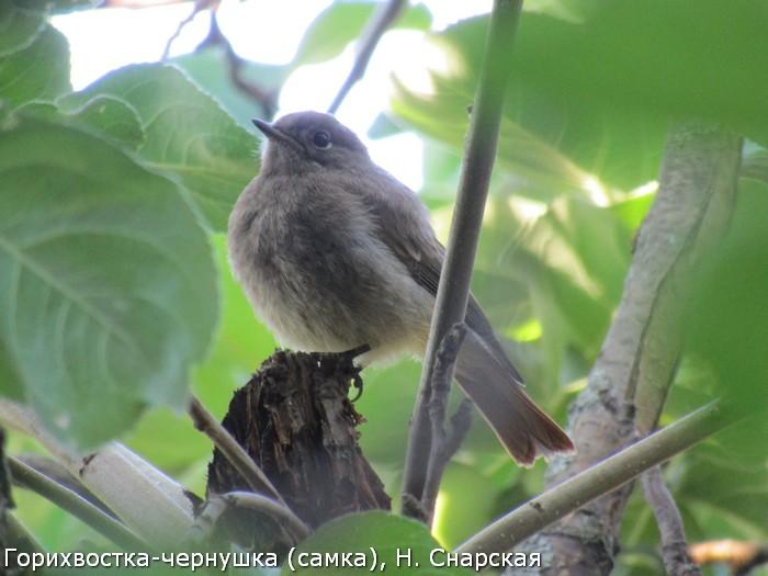 Горихвостка-чернушка (самка), Н. Снарская