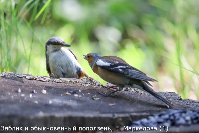 Зяблик и обыкновенный поползень, Е. Маркелова (1)