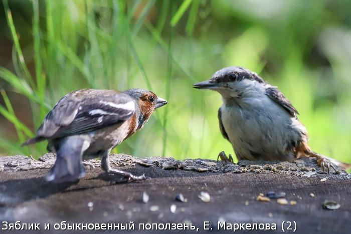 Зяблик и обыкновенный поползень, Е. Маркелова (2)