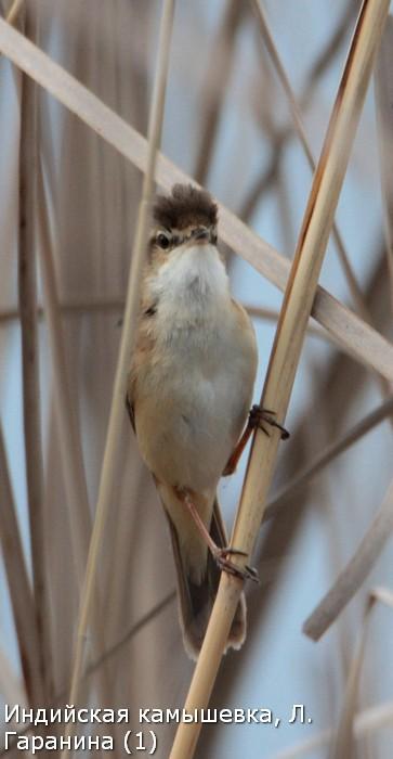 Индийская камышевка, Л. Гаранина (1)