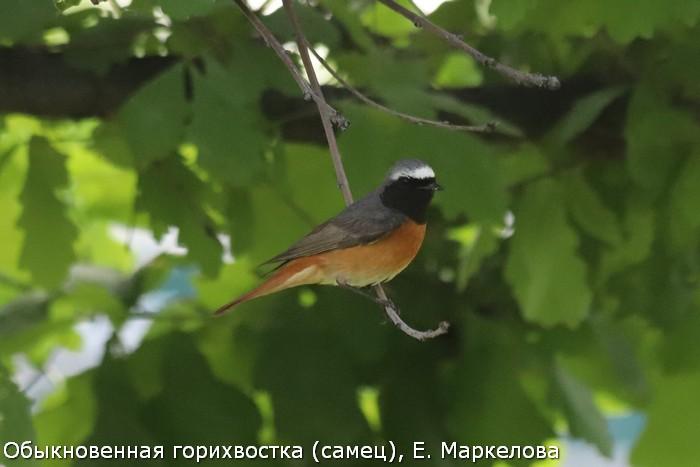 Обыкновенная горихвостка (самец), Е. Маркелова