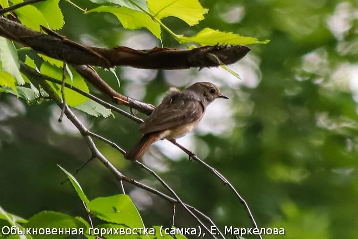 Обыкновенная горихвостка (самка), Е. Маркелова