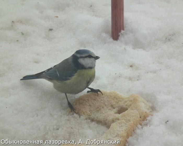 Обыкновенная лазоревка, А. Добрянский
