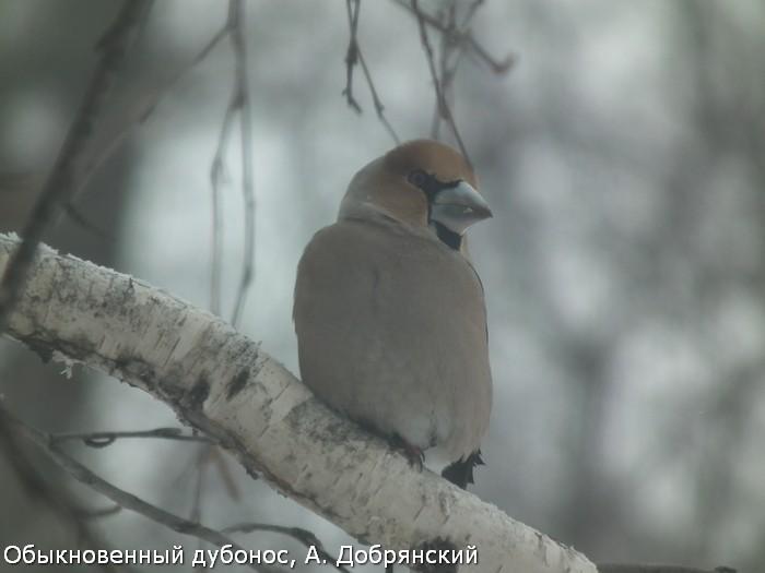 Обыкновенный дубонос, А. Добрянский