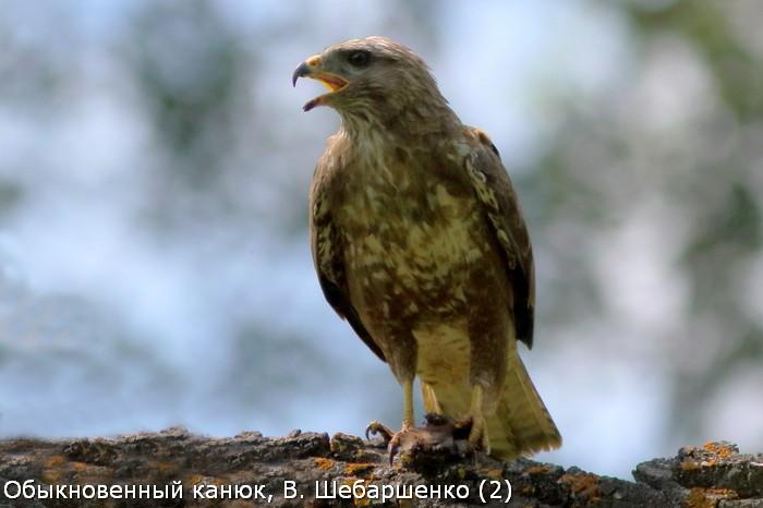 Обыкновенный канюк, В. Шебаршенко (2)