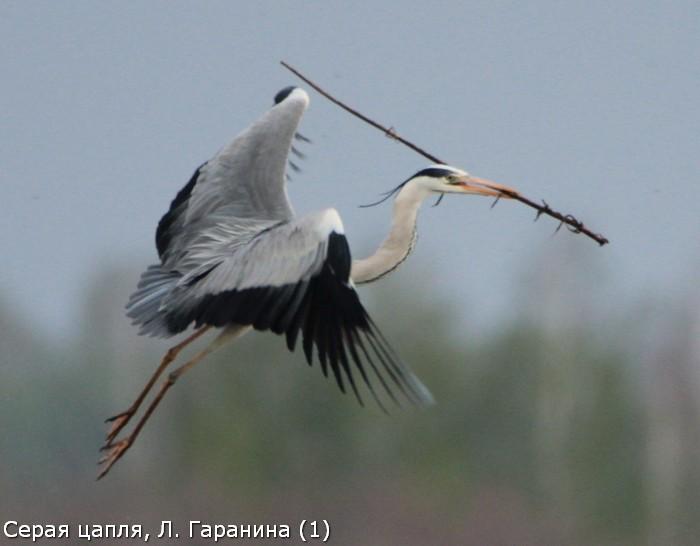 Серая цапля, Л. Гаранина (1)